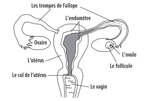 Le cycle menstruel en bref
